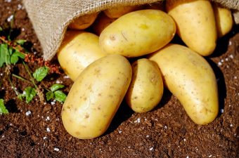 Once you've learned how to plant potatoes in a pot you can start growing your own, fresh potatoes in your yard or even in your kitchen. Growing Potatoes in Containers | How Many Potatoes Can I Grow in a Container | Planting Potatoes in Buckets | Growing Potatoes Boxes | Growing Potatoes in a Barrel | How to Grow Potatoes in a Container Indoors | How to Grow Potatoes Indoors