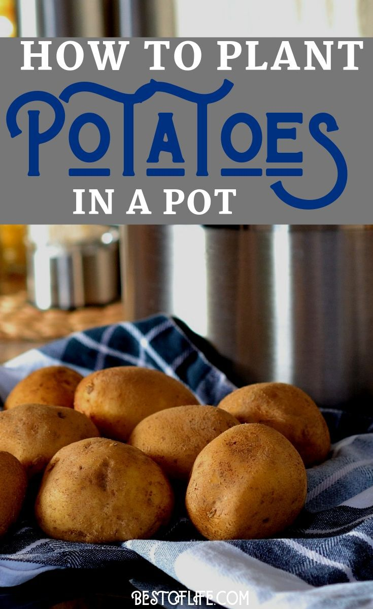 Once you've learned how to plant potatoes in a pot you can start growing your own, fresh potatoes in your yard or even in your kitchen. Planting Ideas | Gardening Ideas | Barrell Planter Ideas | Container Planting Ideas | DIY Gardening #garden #howto