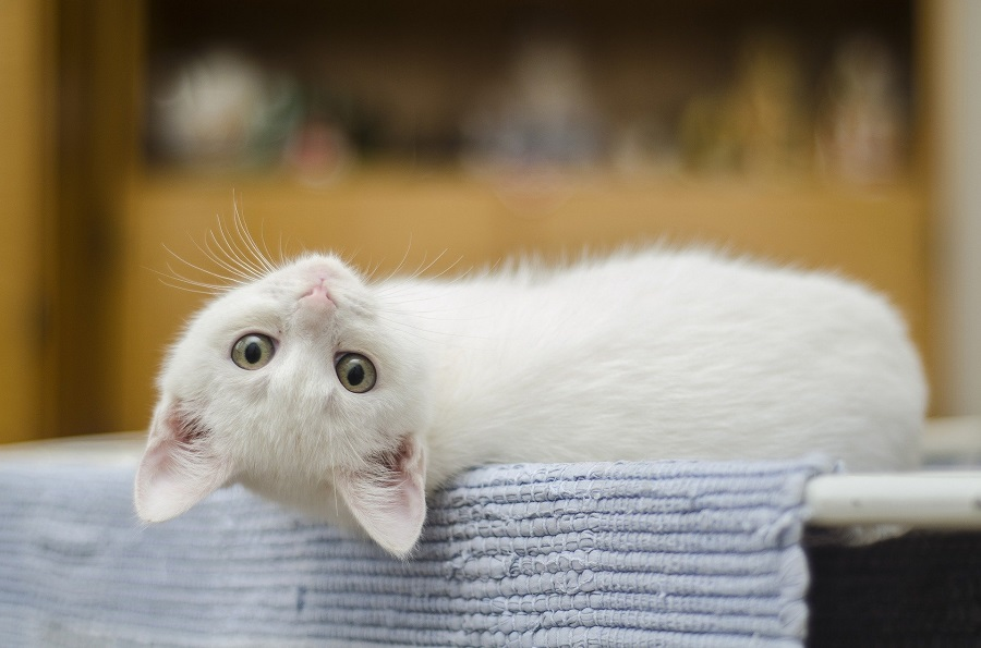 Cute Cat Quotes to Make you Smile White Cat Laying Down Upside Down