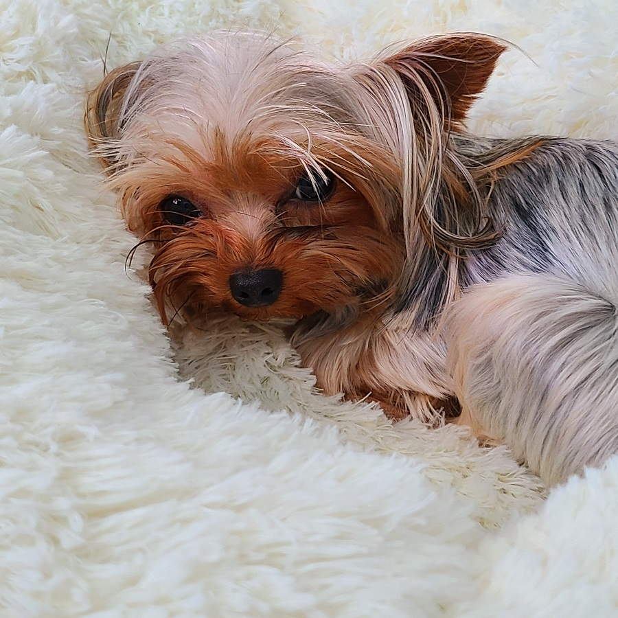 Orthopedic Pet Bed Benefits Close Up of Dog on Pet Bed