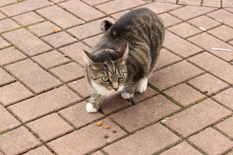 DIY Pet Treats Cat with Food in Front of It