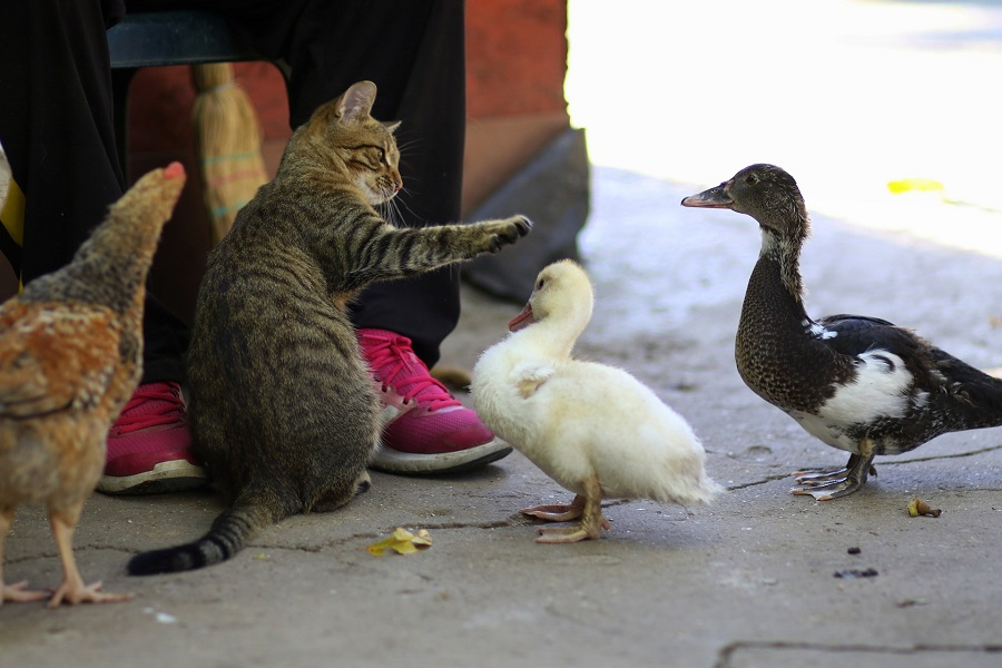 Pet Food Storage Ideas for Kitchens Cat Surrounded by Ducks