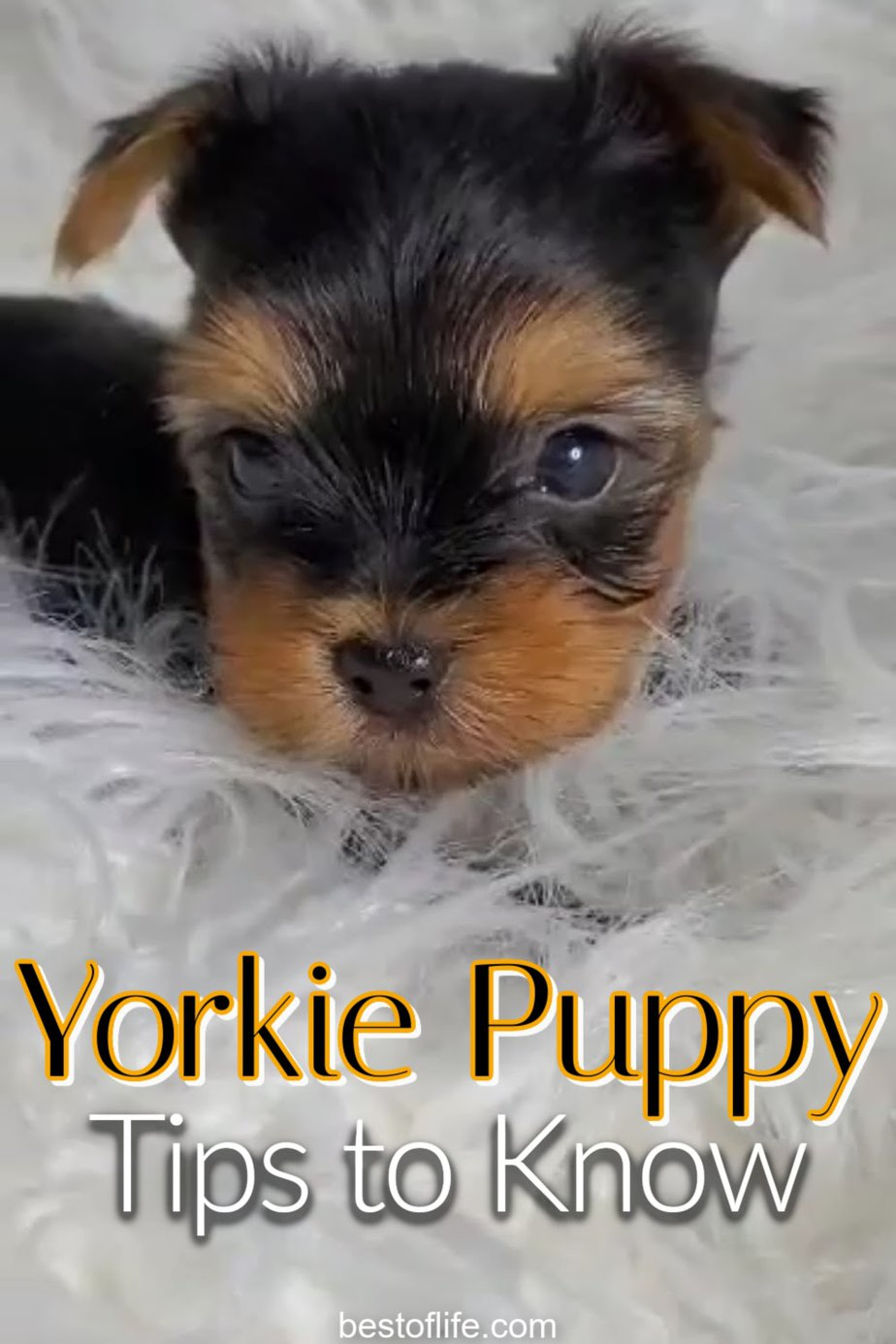 There are a few yorkie puppy tips to know that could make a big difference as you welcome your yorkie home and learn how to train them. Puppy Tips Bringing Home | Life Hacks for Puppy Owners | Tips and Tricks for Puppies | Tips for New Dog Owners | Tips for Yorkie Owners | Things to Know About Yorkies | Dog Training Ideas | Yorkie Training Ideas #yorkie #pets via @thebestoflife