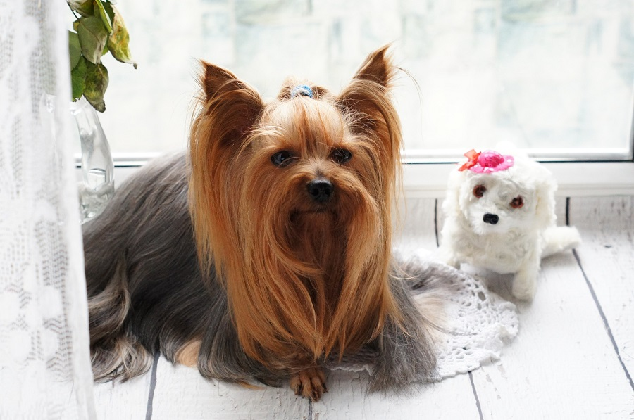 Yorkie Puppy Tips a Yorkie with Long Hair Sitting Next to a Toy Dog
