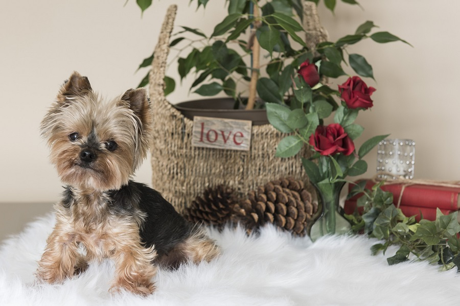 Yorkie Puppy Tips a Yorkie Puppy in Front of a Basket with a Sign That Says Love