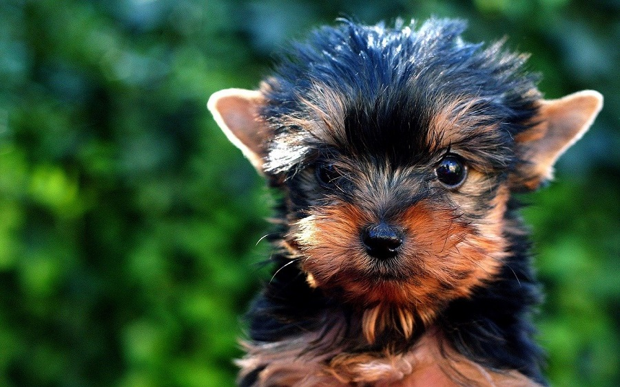 Yorkie Puppy Tips a Tiny Black and Brown Yorkie Puppy